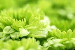 Мягкий свежий зеленый цветок для предпосылки влюбленности романтичной мечтательной, f Стоковое фото RF