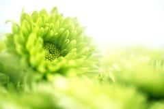 Мягкий свежий зеленый цветок для предпосылки влюбленности романтичной мечтательной, f Стоковые Изображения RF