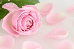 Мягкий свет - роза и листья пинка Стоковая Фотография