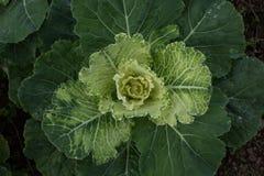 Мягкий фокус большой капусты в саде Стоковые Изображения RF