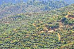 Мягкий фокус взгляда от значительно пересаживая дерева масличной пальмы на холме Стоковые Изображения