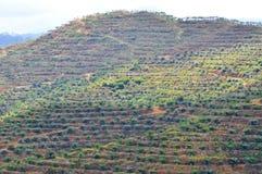 Мягкий фокус взгляда от значительно пересаживая дерева масличной пальмы на холме Стоковая Фотография