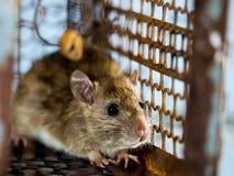 Мягкий фокус крысы в клетке улавливая крысу крыса имеет инфекцию заболевание к людям как лептоспироз, чума дома стоковое изображение rf