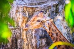 Мягкий фокус милого жирафа, camelopardalis Giraffa, млекопитающегося rumin Стоковая Фотография RF