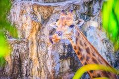 Мягкий фокус милого жирафа, camelopardalis Giraffa, млекопитающегося rumin Стоковые Фотографии RF