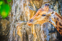 Мягкий фокус милого жирафа, camelopardalis Giraffa, млекопитающегося rumin Стоковое Фото