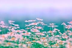 Мягкий фокус на маргаритке весны Стоковая Фотография RF