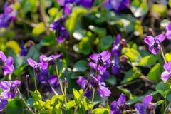 Мягкий фокус против фиолетов леса весны солнца на предпосылке запачканного естественного зеленого цвета Головы фиолетов повернуты стоковое фото rf