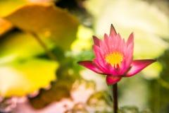 Мягкий цветок лотоса нерезкости в яркой предпосылке помадки цветов Стоковая Фотография RF