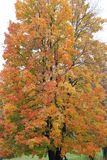 Мягкое дерево клена Стоковое Фото