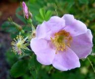 Мягкое розовое одичалое подняло полностью сад желтых тычинок цветеня & бутона зеленый Стоковое фото RF