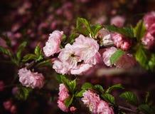 Мягкое розовое японское цветение вишневого дерева Стоковое Фото