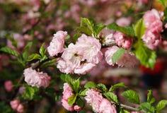 Мягкое розовое японское цветение вишневого дерева Стоковые Изображения