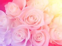 Мягкое розовое backgroundd роз фильтра Стоковые Фотографии RF