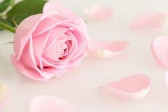 Мягко роза и листья пинка Стоковое фото RF