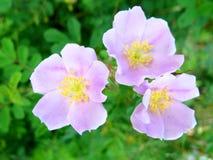 Мягко украсьте дырочками 3 листь зеленого цвета тычинок цветеня wildroses полностью желтых Стоковые Изображения RF
