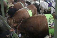 Мясной скот готовый для того чтобы продать Стоковое Изображение RF