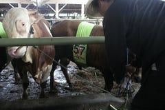 Мясной скот готовый для того чтобы продать Стоковые Изображения RF