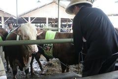 Мясной скот готовый для того чтобы продать Стоковая Фотография RF