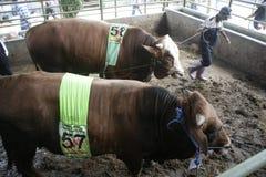 Мясной скот готовый для того чтобы продать Стоковая Фотография