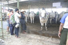 Мясной скот готовый для того чтобы продать Стоковое Фото