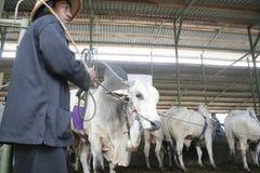 Мясной скот готовый для того чтобы продать Стоковые Изображения