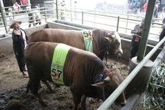 Мясной скот готовый для того чтобы продать Стоковые Фотографии RF