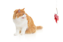 мясо удя крюка кота Стоковое Изображение