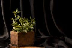 Мята в деревянном por на темной предпосылке Стоковое фото RF