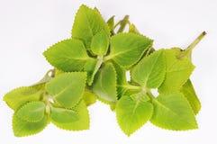 мята листьев Стоковое фото RF