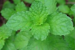 мята листьев Стоковое Фото