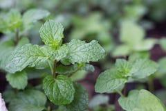 Мята обыкновенно домашние овощи Стоковые Фотографии RF