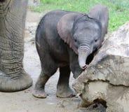 младенец африканского слона с матерью Стоковое Изображение