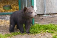 Младенец бурого медведя (arctos Ursus) Стоковая Фотография RF