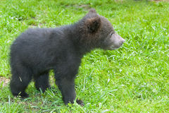 Младенец бурого медведя (arctos Ursus) Стоковая Фотография