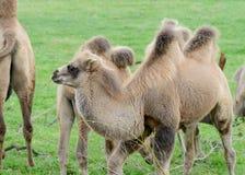 Младенец верблюда Стоковые Изображения RF