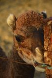 Младенец верблюда Стоковое Фото