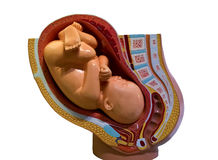 Младенец в модели утробы Стоковые Фотографии RF