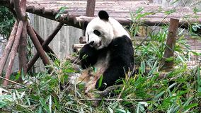 Младенец гигантской панды