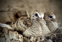 Младенец голубя зебры на гнезде Стоковое фото RF
