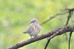 Младенец голубя кольца necked Стоковые Фото