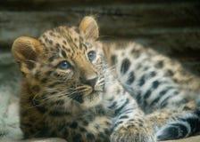 младенец леопарда Амура Стоковая Фотография RF