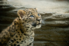 младенец леопарда Амура Стоковые Фото