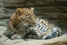 младенец леопарда Амура Стоковое Фото