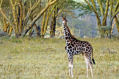 Младенец жирафа Rotschild, национальный парк Nakuru озера, Кения Стоковые Изображения RF