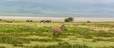 Младенец зебры в кратере Ngorogoro Стоковая Фотография