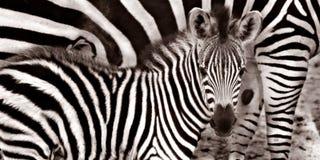 Младенец зебры Стоковое фото RF