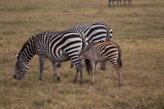 Младенец зебры diking стоковое изображение