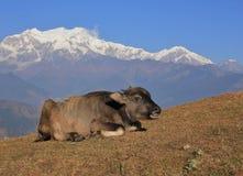 Младенец индийского буйвола и гора Manaslu выстраивают в ряд Стоковые Изображения RF