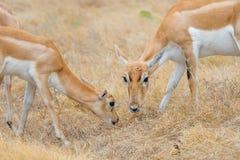 Младенец и мать антилопы Стоковые Фото